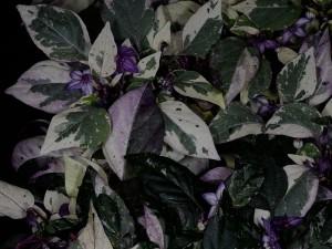 variegato2